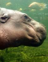 Гипопотамчик
