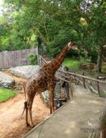Кормление жирафа