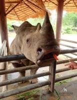Кормление носорога